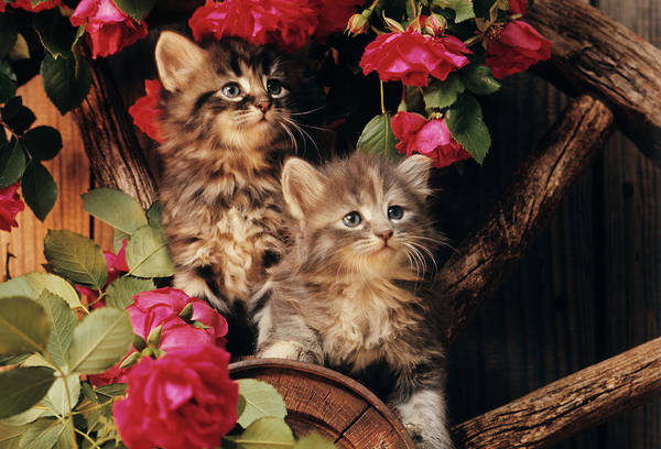 Long Hair Cat Photograph - 1980s Two Kittens Climbing On Wagon by Animal Images