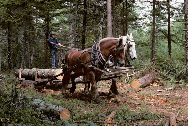 Horsepower Photograph - 1980s Young Man Logging With Team by Vintage Images