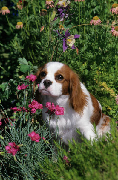 Spaniel Photograph - 1990s Cavalier King Charles Spaniel Dog by Animal Images