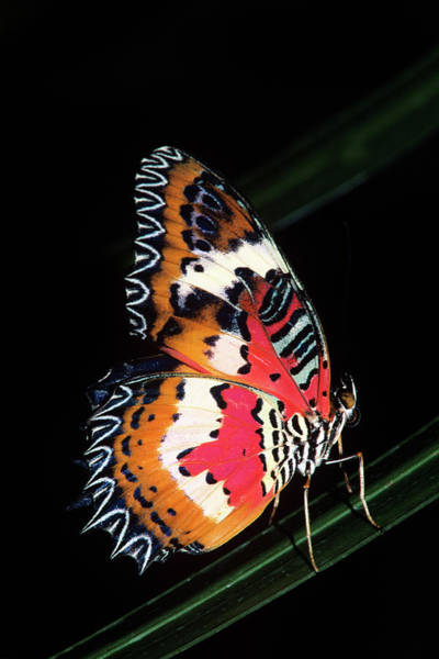 Wall Art - Photograph - 1990s Colorful Malay Lacewing Butterfly by Animal Images