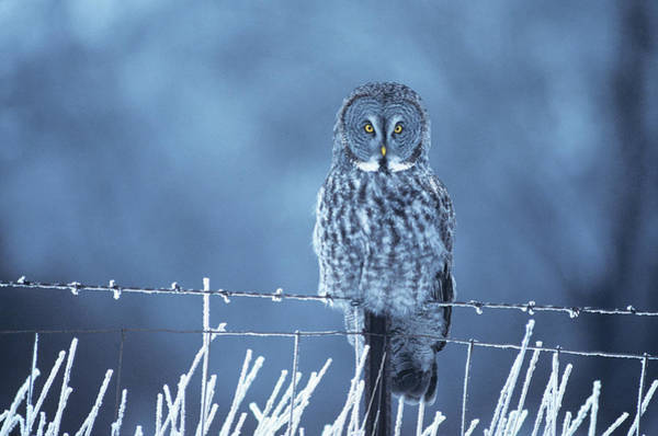 Hoot Wall Art - Photograph - 1990s Great Gray Owl Strix Nebulosa by Animal Images