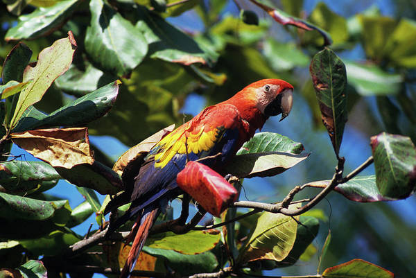 Macaw Photograph - 1990s Scarlet Macaw Ara Macao In Almond by Animal Images