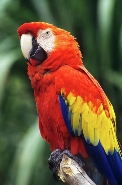 Macaw Photograph - 1990s Scarlet Macaw Ara Macao Looking by Animal Images