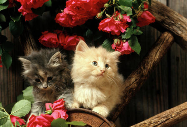Long Hair Cat Photograph - 1990s Two Kittens On Wagon Wheel by Vintage Images