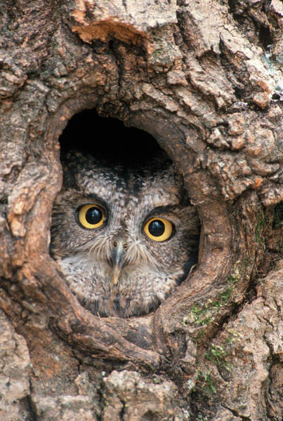 Knot Hole Photograph - 1990s Western Screech Owl Otus by Animal Images