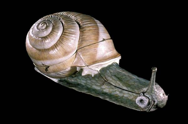 Gastropod Wall Art - Photograph - 19th Century Anatomical Model Of A Snail by Patrick Landmann/science Photo Library