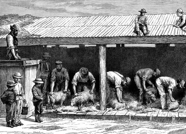 Black Sheep Photograph - 19th Century Australian Sheep Shearing by Collection Abecasis