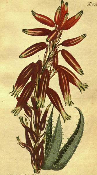 Wall Art - Drawing - 19th Century Botanical Colour  Print. Botanical Illustration by Litz Collection