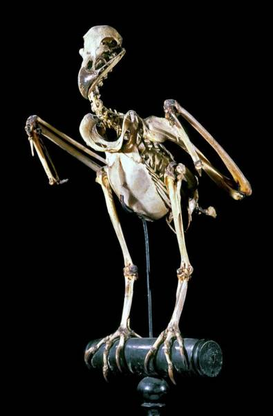 Maison Photograph - 19th Century Buzzard Skeleton by Patrick Landmann/science Photo Library