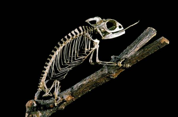Maison Photograph - 19th Century Chameleon Skeleton by Patrick Landmann/science Photo Library