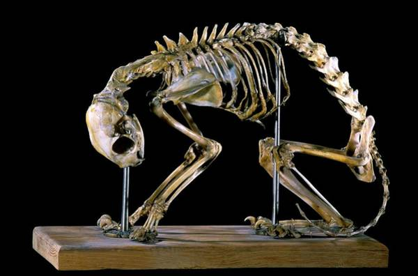 Maison Photograph - 19th Century Deformed Cat Skeleton by Patrick Landmann/science Photo Library