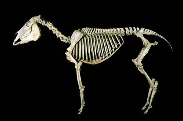 Wall Art - Photograph - 19th Century Donkey Skeleton by Patrick Landmann/science Photo Library