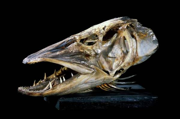 Maison Photograph - 19th Century Preserved Pike Head by Patrick Landmann/science Photo Library
