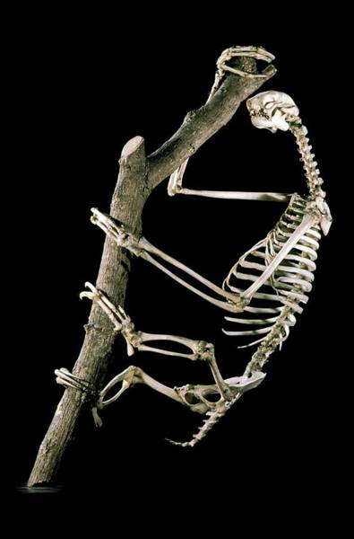 Maison Photograph - 19th Century Sloth Skeleton by Patrick Landmann/science Photo Library