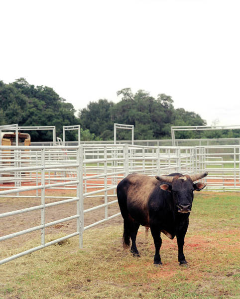 Prca Wall Art - Photograph - A Bull Waits At A Prca Professional by Matthew Wakem