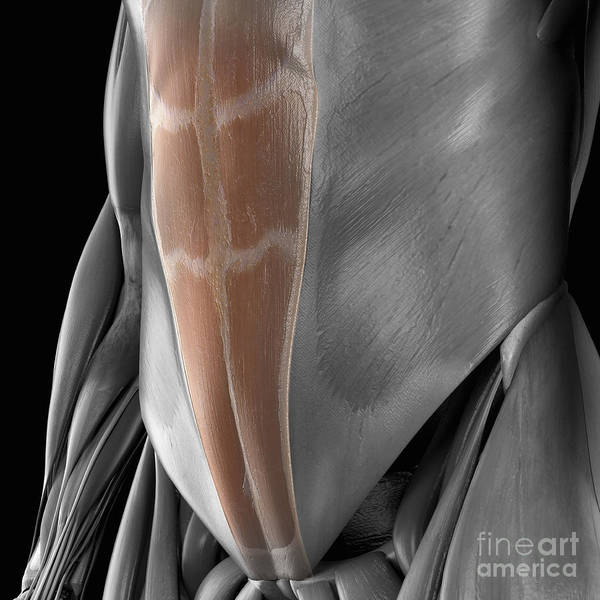 External Abdominal Oblique Photograph - Abdominal Muscles by Science Picture Co