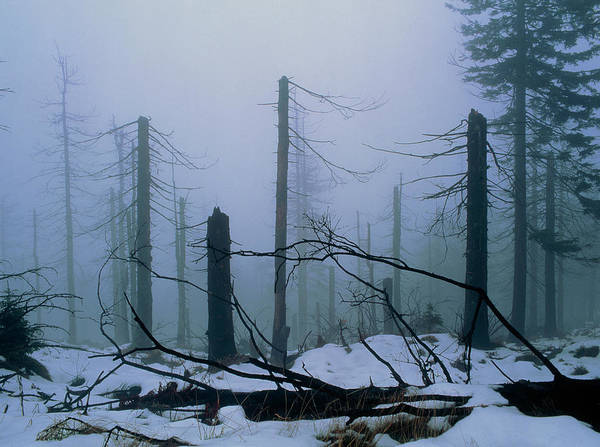 Forestry Photograph - Acid Rain-damaged Trees: Karkonoski Nat.pk by Simon Fraser/science Photo Library