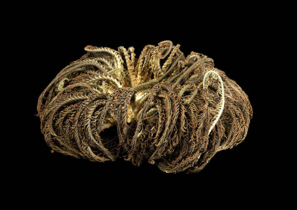 Hydrozoan Photograph - Aequorea Pensilis by Natural History Museum, London