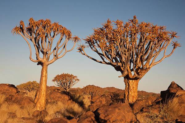 Wall Art - Photograph - Africa, Namibia, Keetmanshoop, Quiver by Ellen Goff
