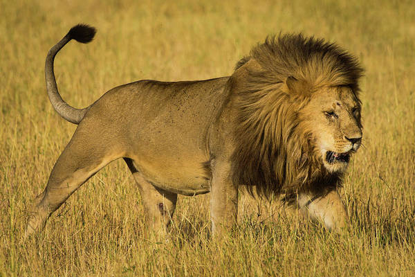 Wall Art - Photograph - Africa Tanzania African Lion Male by Ralph H. Bendjebar
