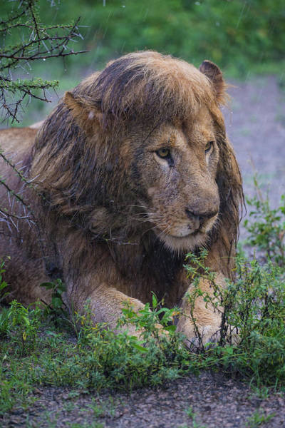 Wall Art - Photograph - Africa Tanzania Male African Lion by Ralph H. Bendjebar