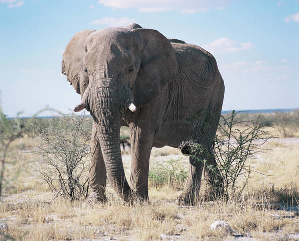 African Bush Elephant Photograph - African Bush Elephant by Sinclair Stammers/science Photo Library