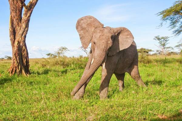 Conserved Photograph - African Elephant Loxodonta Africana by Photostock-israel