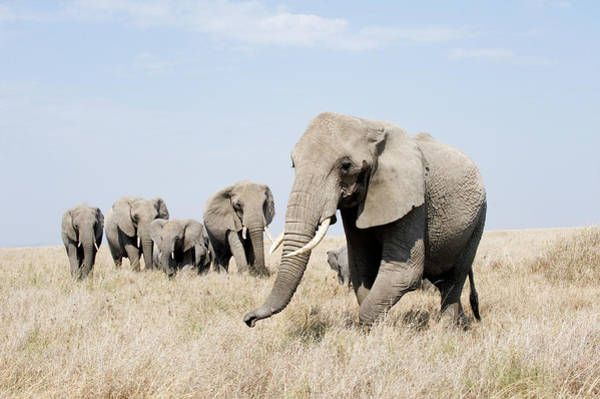 Animal Behavior Photograph - African Elephants Loxodonta Africana by Animal Images