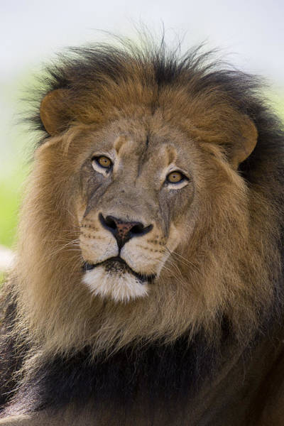 Felidae Wall Art - Photograph - African Lion Male by San Diego Zoo