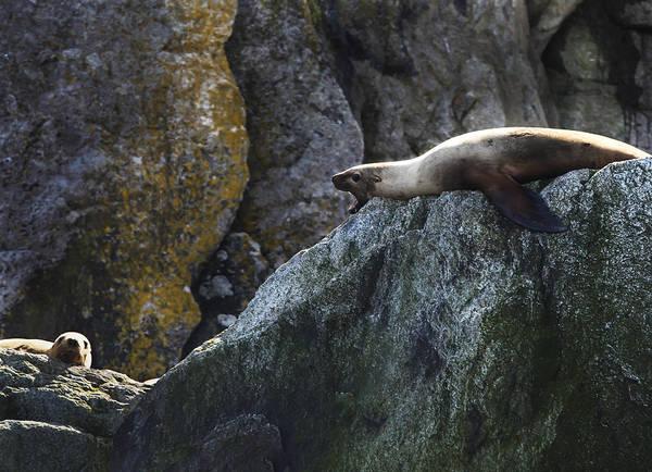 Photograph - 2 Alaska Harbor Seals Image Art By Jo Ann Tomaselli by Jo Ann Tomaselli