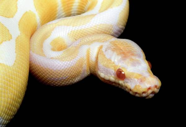Infrared Radiation Photograph - Albino Royal Python by Pascal Goetgheluck/science Photo Library