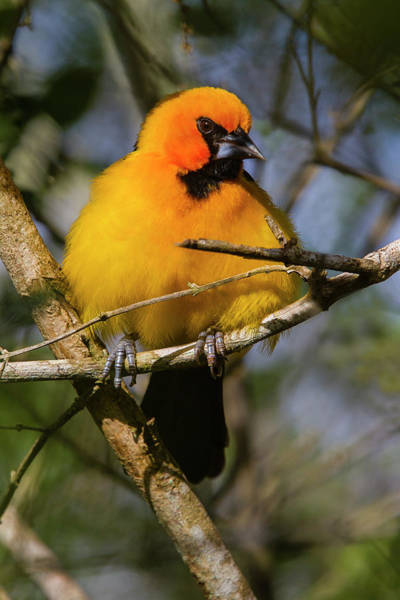 Oriole Photograph - Altamira Oriole (icterus Gularis by Larry Ditto