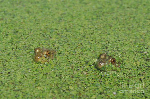 Photograph - American Bullfrogs by Dan Suzio