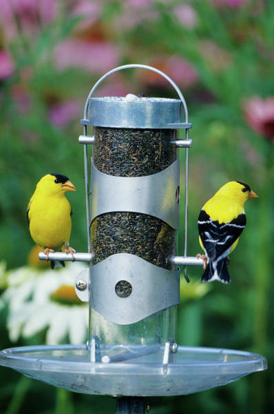 Bird Feeder Photograph - American Goldfinches (carduelis Tristis by Richard and Susan Day