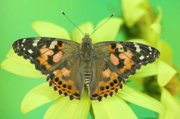 Zinnia Wall Art - Photograph - American Painted Lady Butterfly by Darrell Gulin