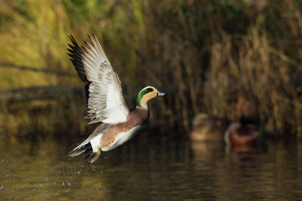 Wall Art - Photograph - American Wigeon Flying by Ken Archer