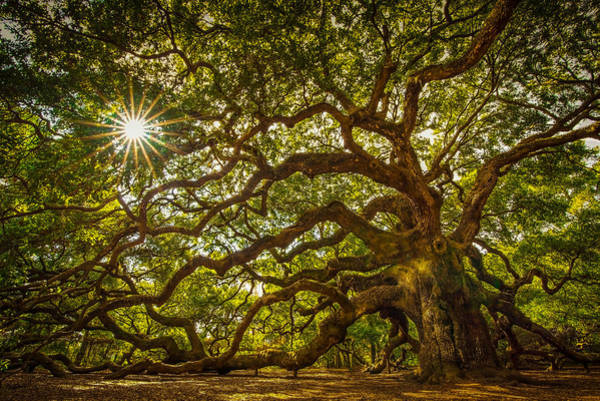 Oak Photograph - Angel Oak by Serge Skiba