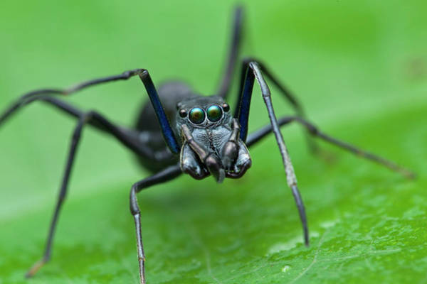 Behaviour Photograph - Ant-mimic Jumping Spider by Melvyn Yeo/science Photo Library