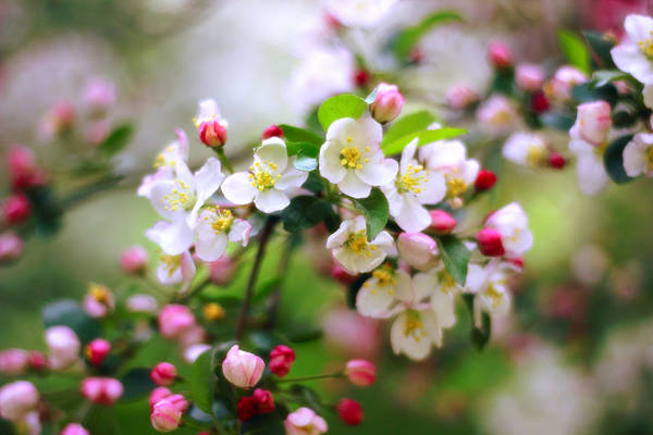 Crab Photograph - Apple Blossom by Jessica Jenney