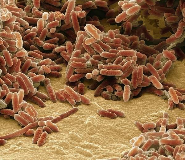 Saprophytic Wall Art - Photograph - Aquaspirillum Bacteria by Steve Gschmeissner