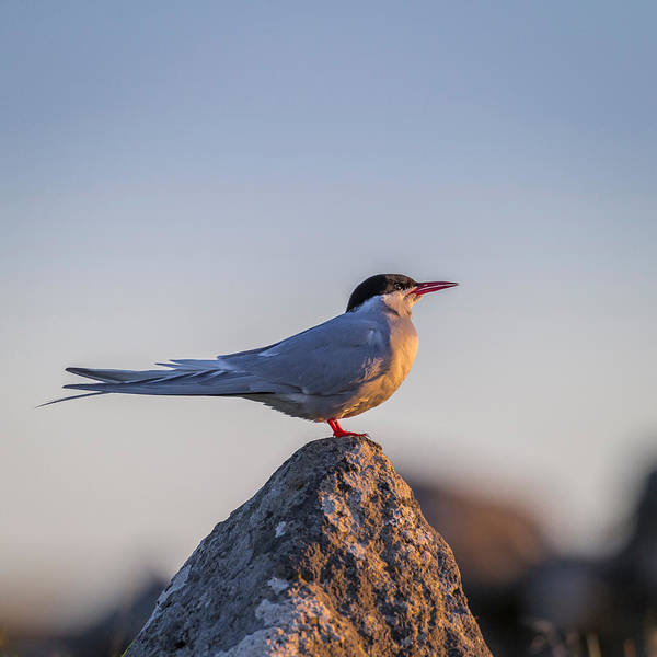 Migratory Photograph - Arctic Terns Sterna Paradisaea, Flatey by Panoramic Images