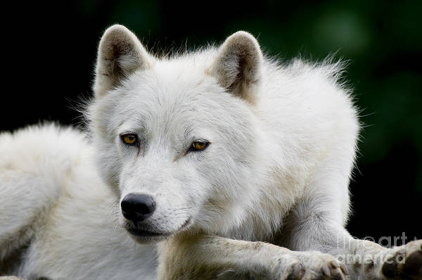 Photograph - Arctic Wolf Portrait by Wolves Only