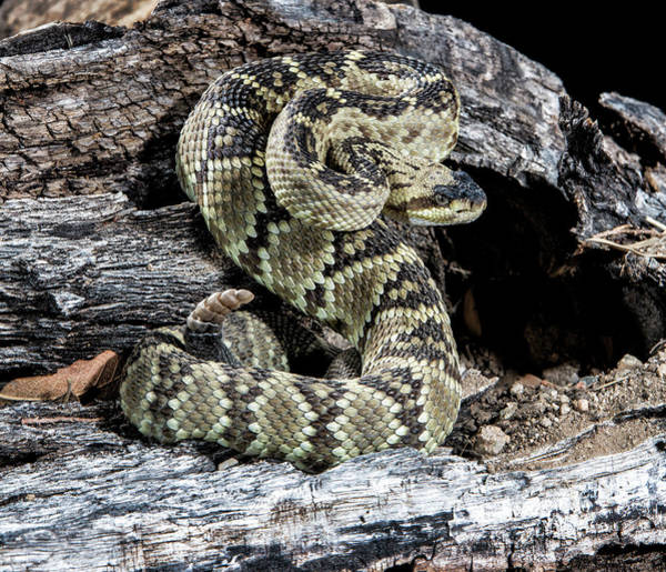 Rattlesnake Photograph - Arizona, Madera Canyon by Jaynes Gallery