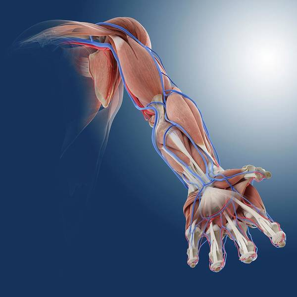 Wall Art - Photograph - Arm Anatomy by Springer Medizin/science Photo Library