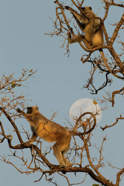 Tree Climbing Photograph - Asia, India, Pench National Park by Joe and Mary Ann Mcdonald