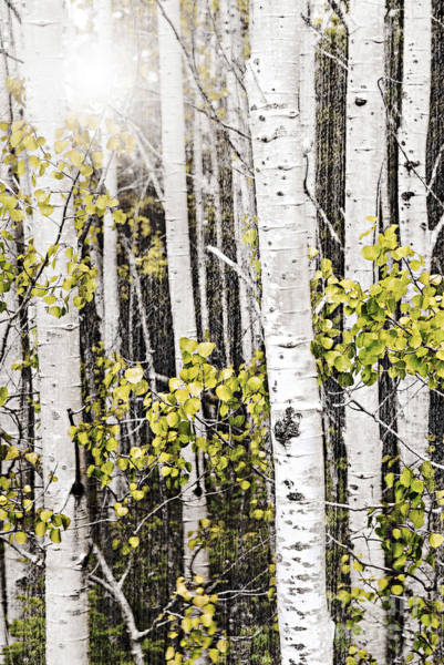 Wall Art - Photograph - Aspen Grove by Elena Elisseeva