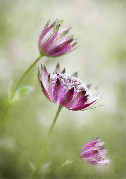 Astrantia Photograph - Astrantia by Mandy Disher