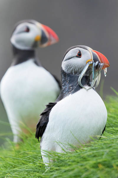 Alcidae Photograph - Atlantic Puffin With Fish, Mykines by Martin Zwick