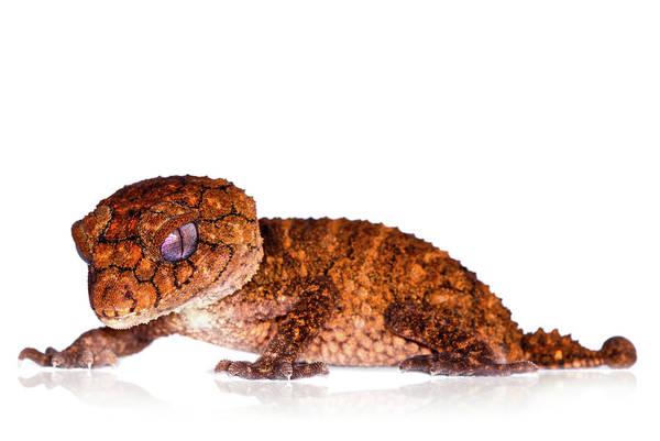 Asps Photograph - Australian Reptiles On White by Shannon Benson