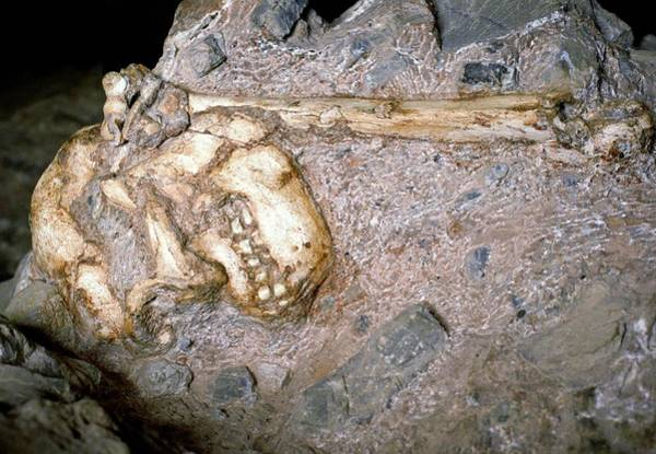 Wall Art - Photograph - Australopithecus Hominid Remains by John Reader/science Photo Library